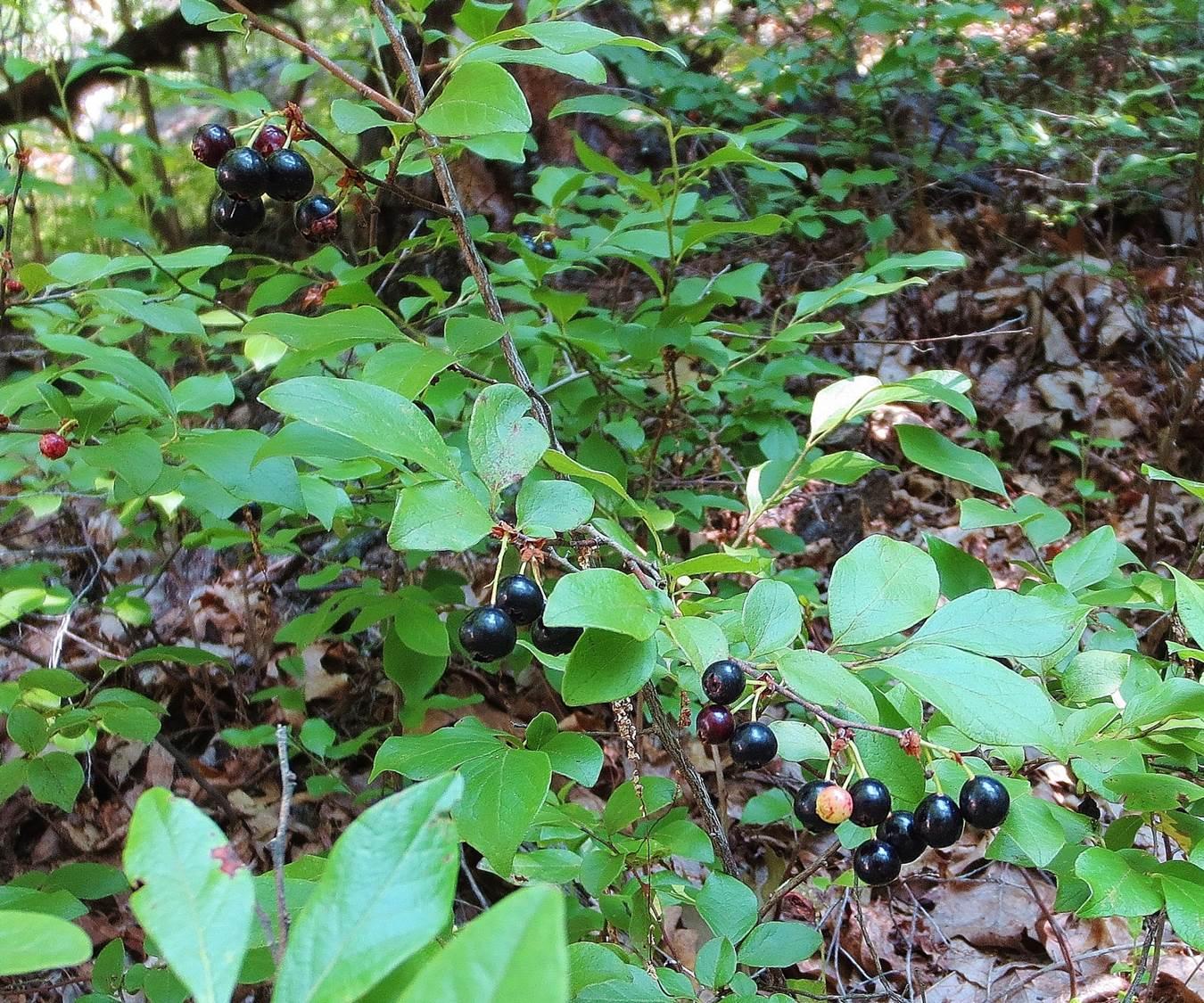 Black Huckleberries Gaylussacia Baccata