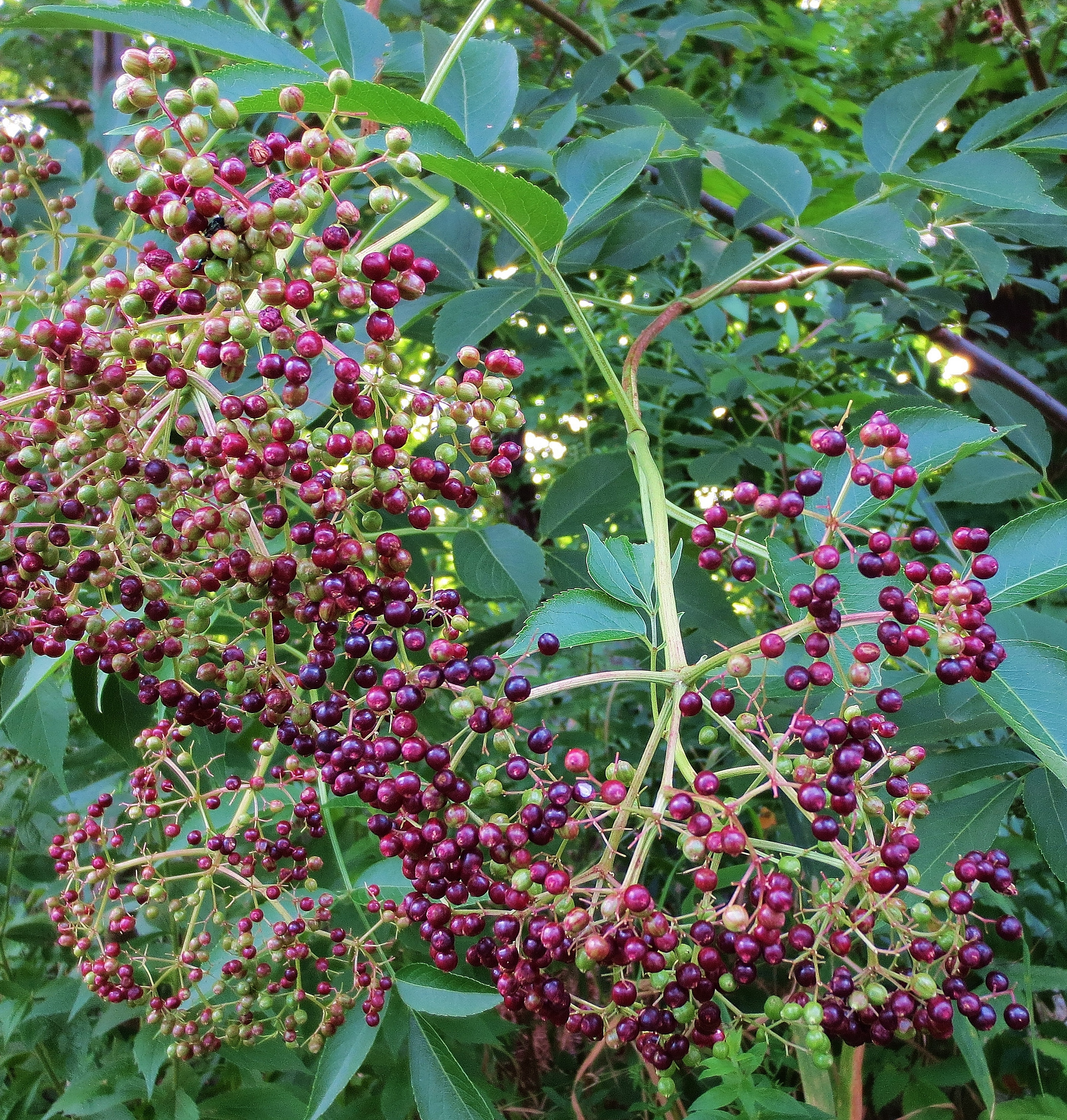 Elderberry: Pictures, Flowers, Leaves and Identification ...