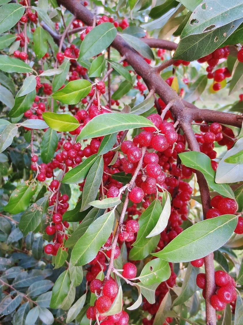 Autumn Olive Foraging For Autumnberries