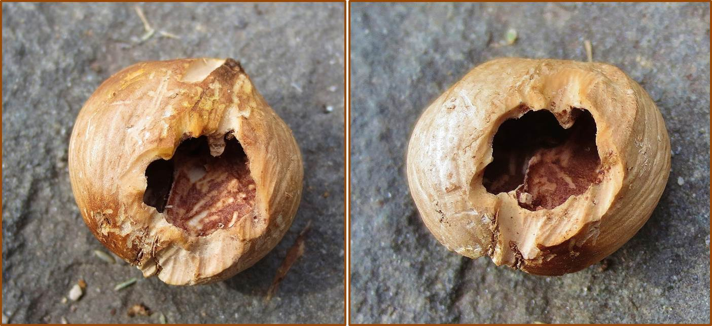 What Kind Of Nut Has A Hole >> Hickory Nuts Rodent Sign