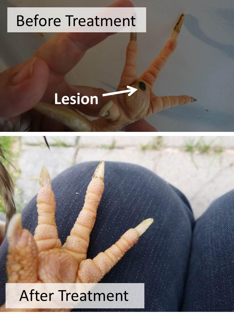 Non-invasive Bumblefoot Treatment: Success Stories |