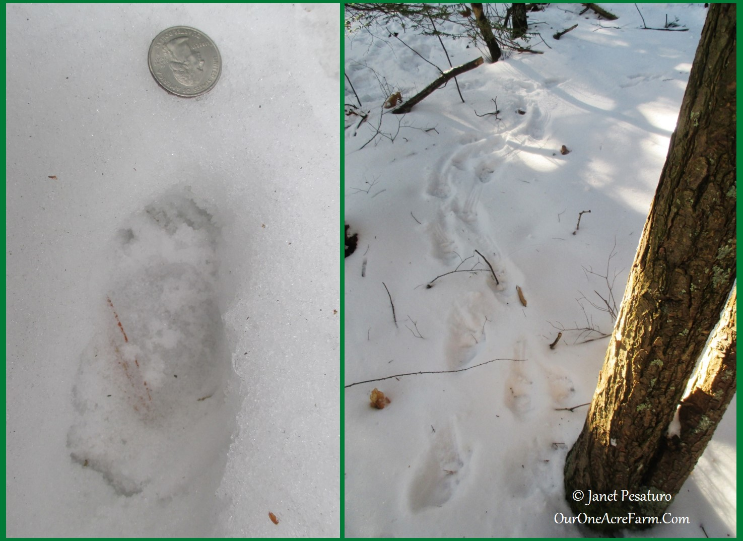 porcupine tracks and sign