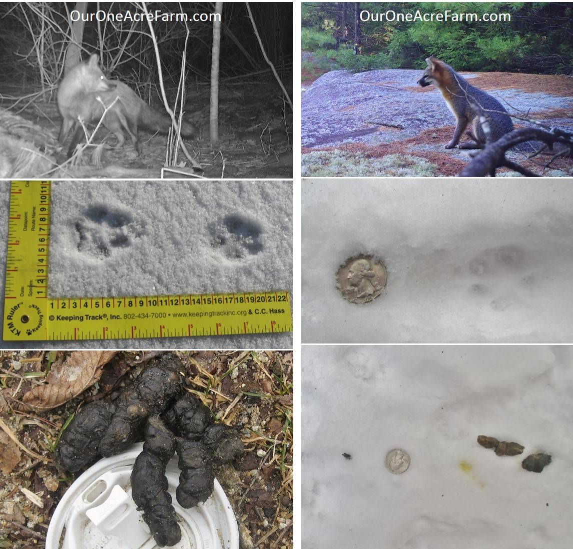 Poultry Predator Identification: A Guide to Tracks and Sign |