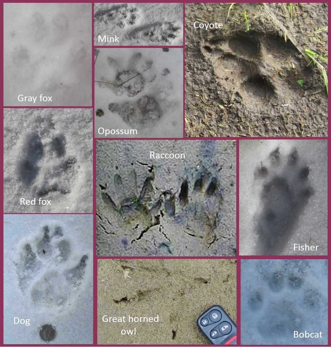 Poultry Predator Identification: A Guide to Tracks and Sign