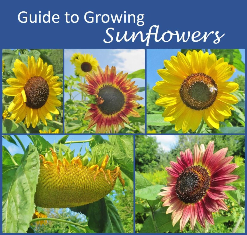 Guide To Growing Sunflowers Covers Planting And Thinning Sunflower Seeds Common Problems Pests