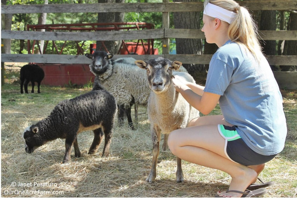 Raising Shetland Sheep: Guide to Starting a Flock
