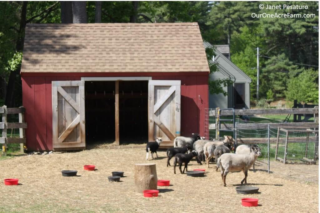 Small Farm Shelters : Raising shetland sheep guide to starting a flock