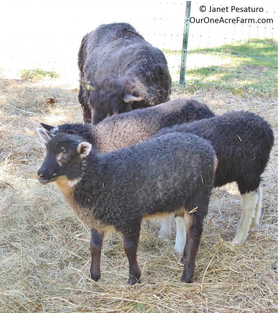 Raising Shetland Sheep: Guide to Starting a Flock |