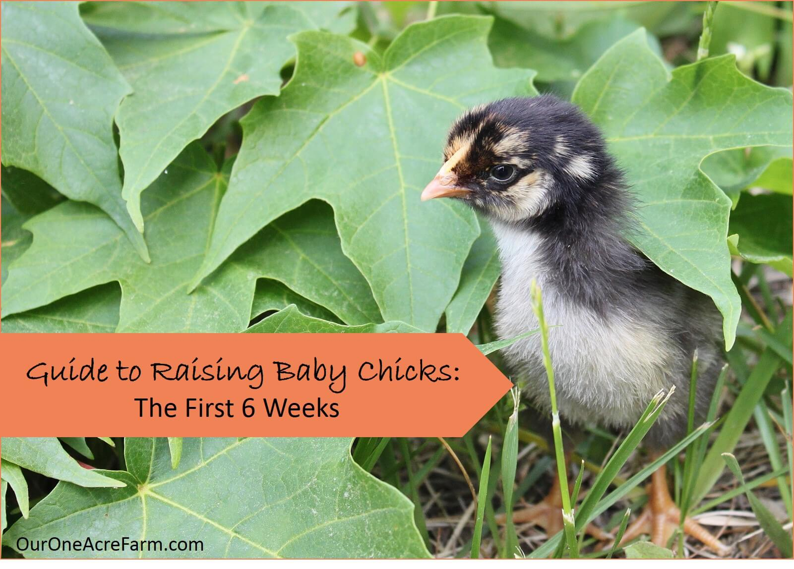 A thorough guide to raising baby chicks without a hen. Where to buy chicks, setting up a brooder box, feeding, watering, spatial needs, stimulation, and problems to look out for. Everything you need to know for the first 6 weeks.