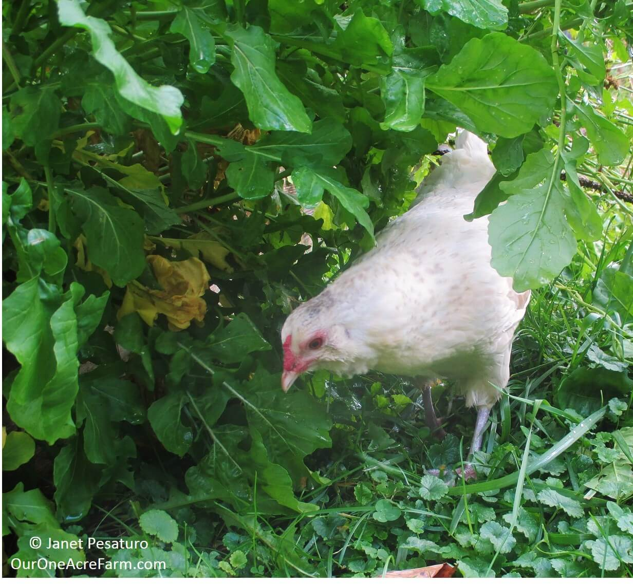 Limited Free Range Chickens: 12 Tips to Balance Freedom