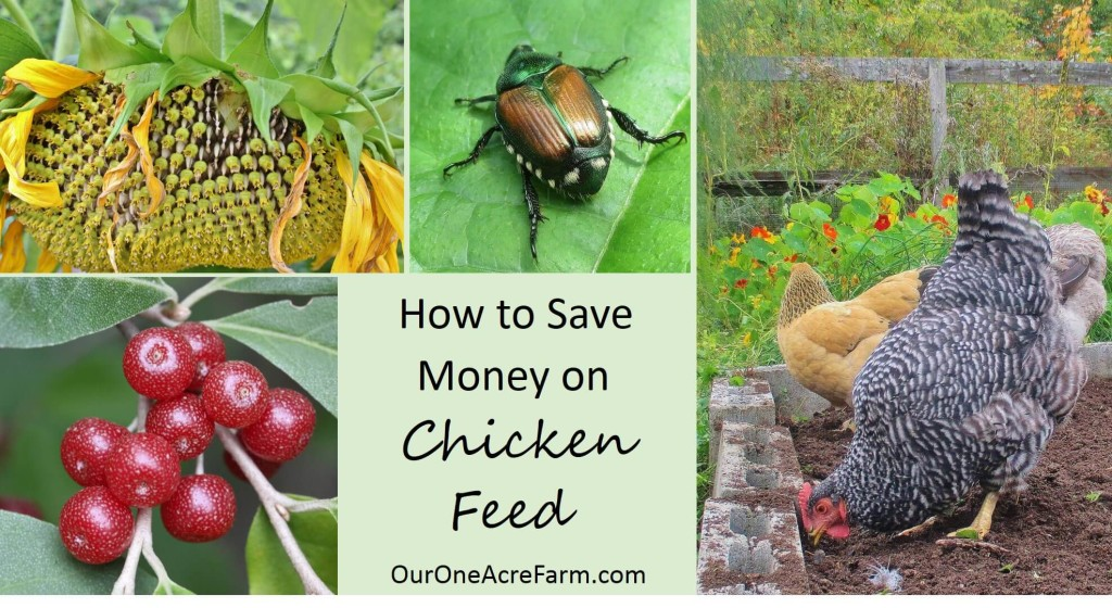 Save Money On Chicken Feed With Natural Healthful Alternatives