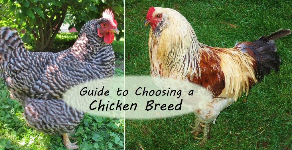 Chicken Meat Meat: description of the best breeds