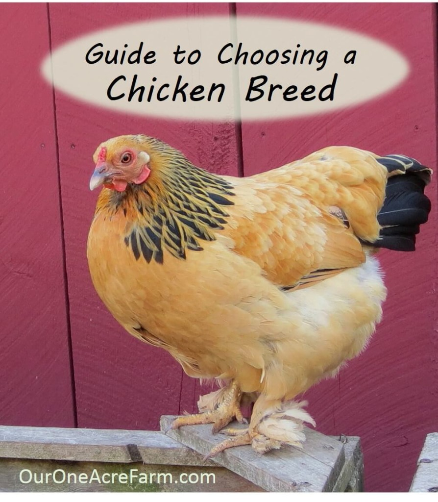Incroyable Want Backyard Chickens For Eggs? Meat? Beauty? Calm Companionship? For A  Cold