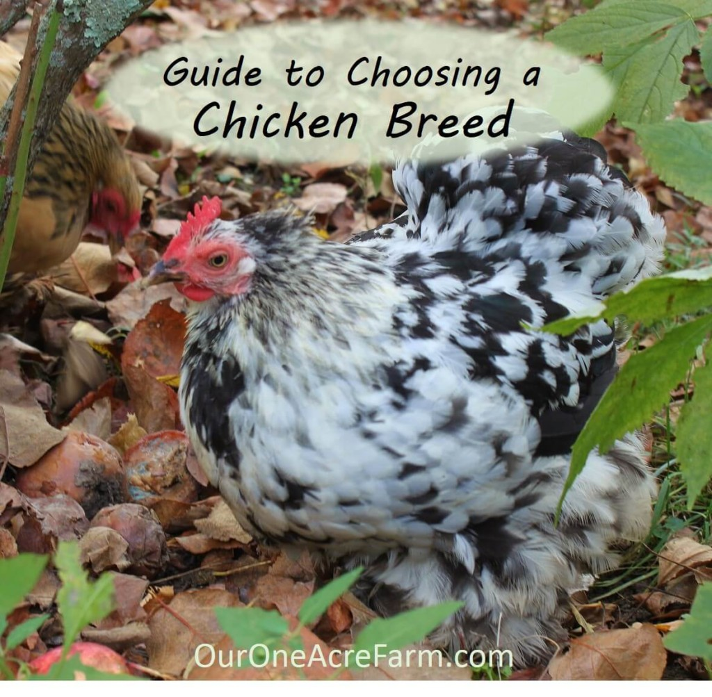 Exceptionnel Want Backyard Chickens For Eggs? Meat? Beauty? Calm Companionship? For A  Cold